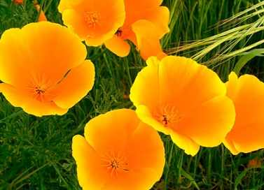 california poppy eschscholzia californica Right back at ya!