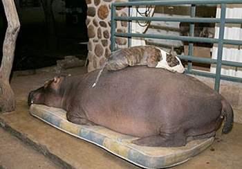 Dog sleeping on Jessica the hippopotamus