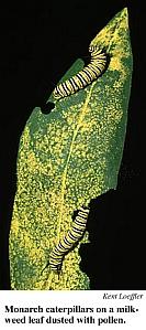 bt corn pollen killing butterflies