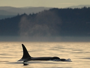 Orca whale under the mist