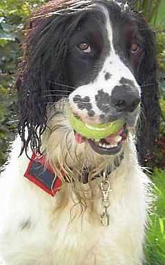 Lucky Lord Barkeley, a Springer Spaniel and his tennis ball