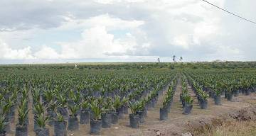 Planting palm for biofuel