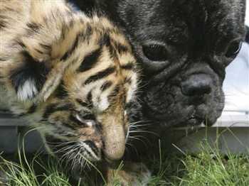 bulldog cares for Bengal tiger