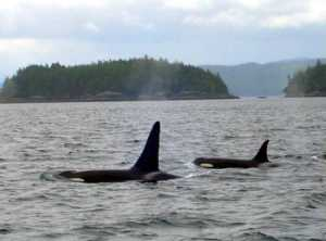 Orca 'Killer Whales' in the Queen Charlotte Strait
