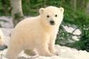 cute polar bear cub thumb