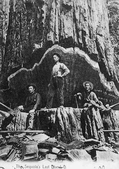 3 men chopping large Sequoia