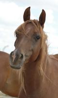 A small brown mare