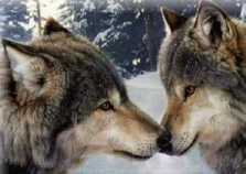 Wolves nuzzle noses